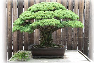 Bonsai anzucht und pflege info brosch re anleitung ebay for Bonsai hydrokultur